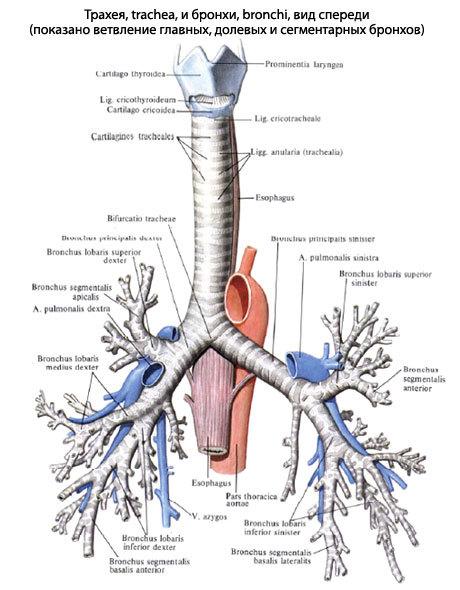 Инородное тело трахеи: причины, симптомы, диагностика, лечение, неотложная помощь