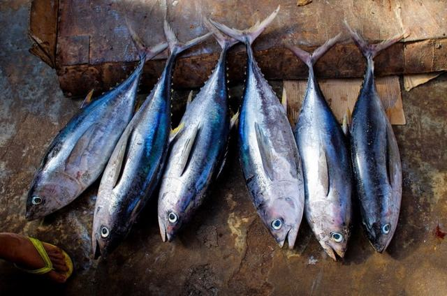 Тунец: польза и вред, пищевая ценность, состав, противопоказания к употреблению тунца