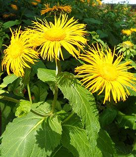 Девясил: лечебные свойства и противопоказания, применение настойки корней девясила