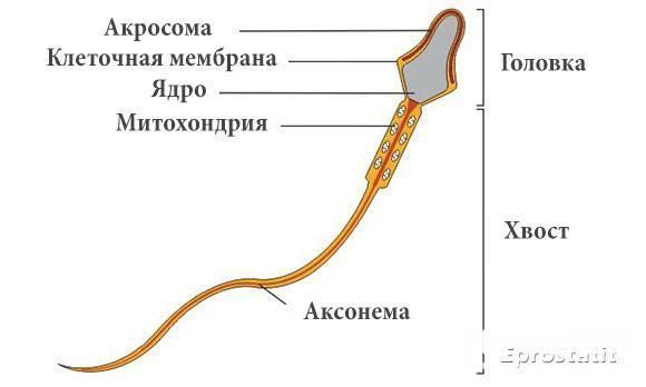 Некрозооспермия: можно ли забеременеть, причины и лечение заболевания