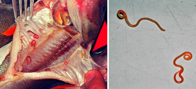 Какие последствия, если съесть рыбу с мертвыми глистами?