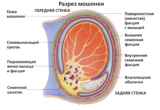 Абсцесс мошонки: симптомы и лечение, причины, операция, профилактика