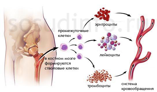 Понижены лейкоциты в крови: что это значит у взрослых женщин, у мужчин