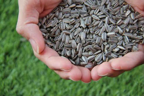 Семечки подсолнуха: польза и вред, калорийность, польза семечек подсолнуха для женщин и мужчин